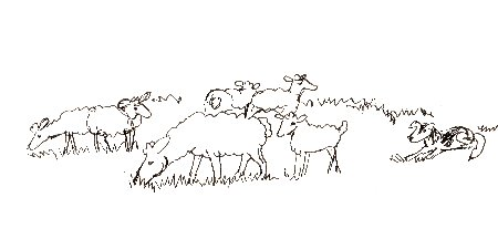 Sheep, herd, sheep herding