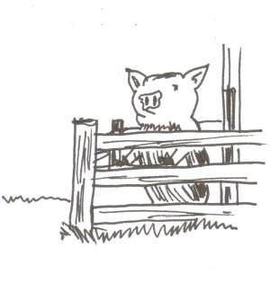 Pig-peering over fence at A.M. feeding time
